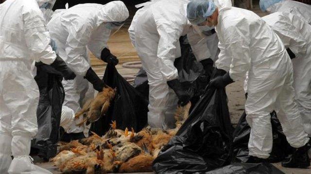 Grippe aviaire H5N8: un premier cas de transmission à l'humain détecté en Russie
