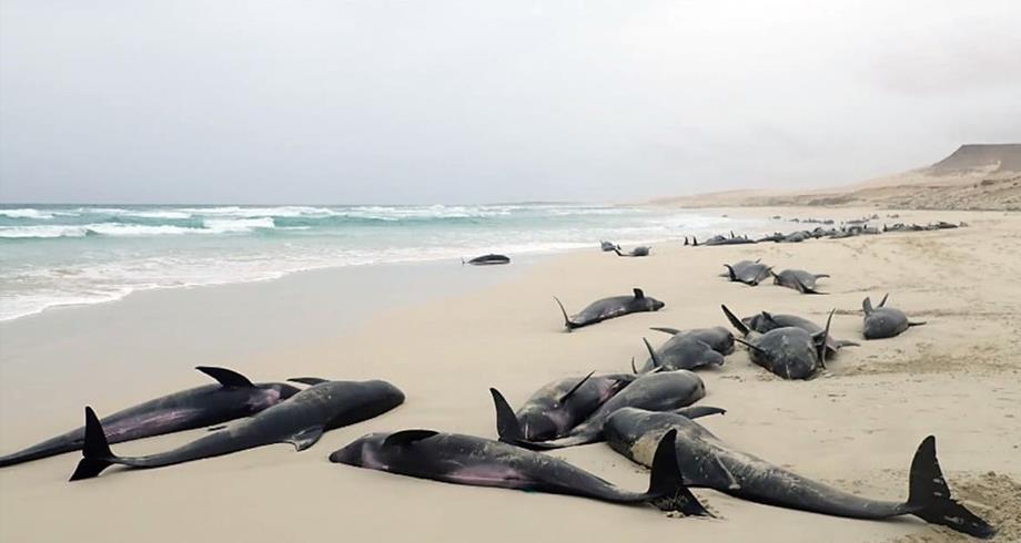 نفوق أكثر من مئة دلفين قبالة سواحل موزمبيق