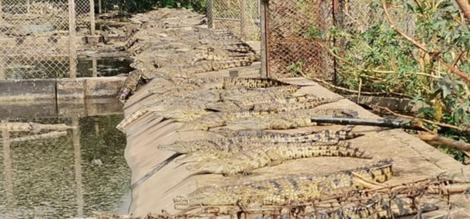 العثور على 27 تمساحا فروا من مزرعة في جنوب إفريقيا