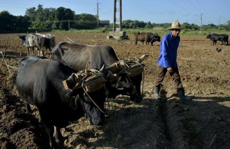 للمرة الأولى .. كوبا تسمح لمربي الماشية ببيع اللحوم