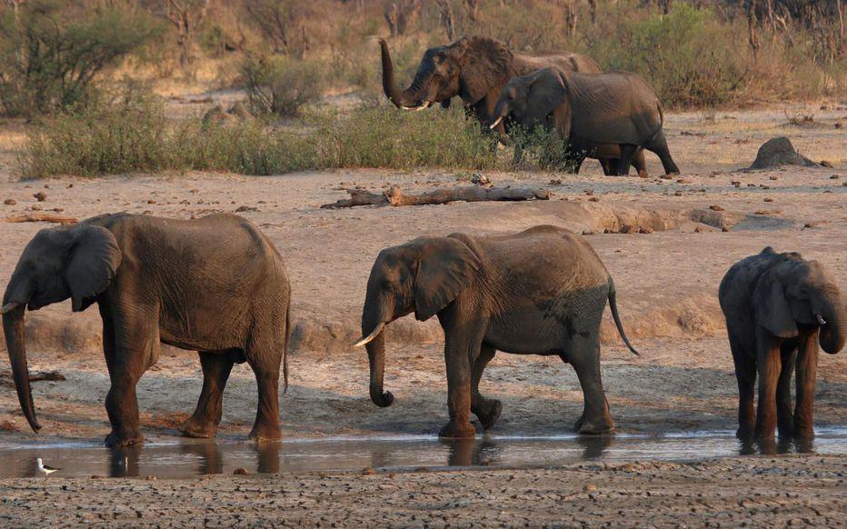 Le Zimbabwe envisage de vendre les droits de chasse de 500 éléphants en 2021