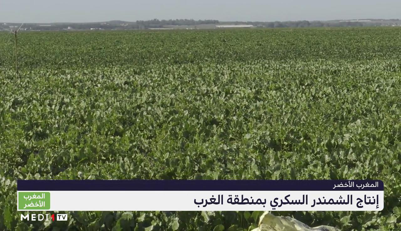 """""""المغرب الأخضر"""" .. إنتاج الشمندر السكري بجهة الغرب"""