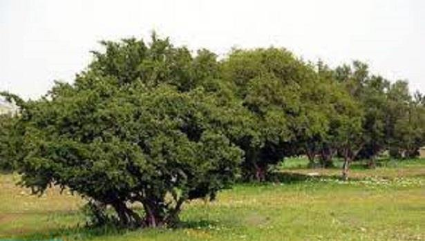 """صحيفة """"الأهرام"""" المصرية تُبرز أهمية شجرة """"الأركان"""" في تحقيق الأبعاد الثلاثية للتنمية المستدامة"""