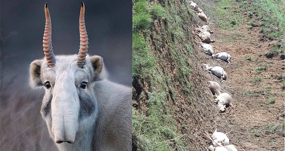 صاعقة تقضي على 350 ظبيا من نوع مهدد بالانقراض في كازاخستان
