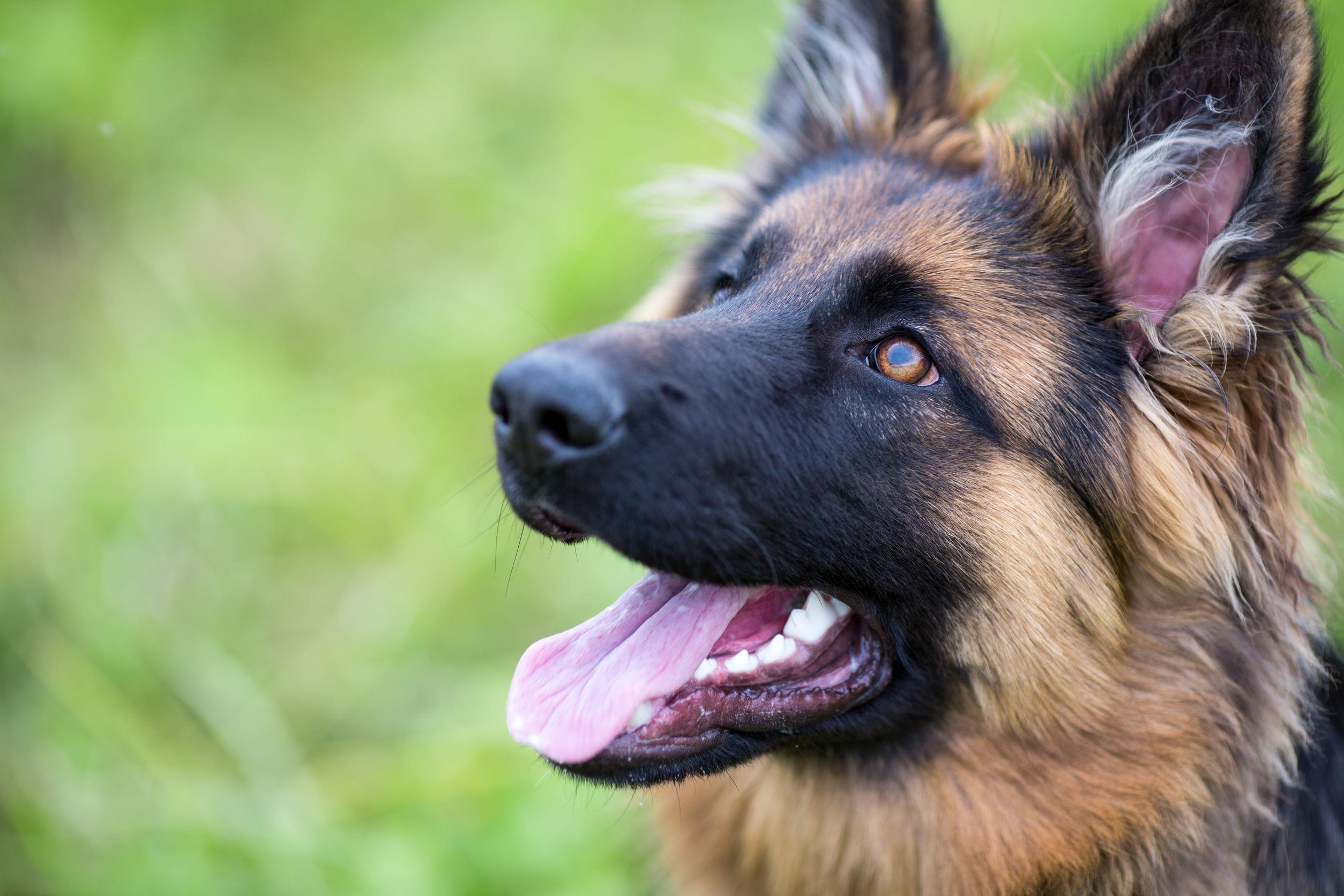 Vers le dépistage du coronavirus par des chiens ?