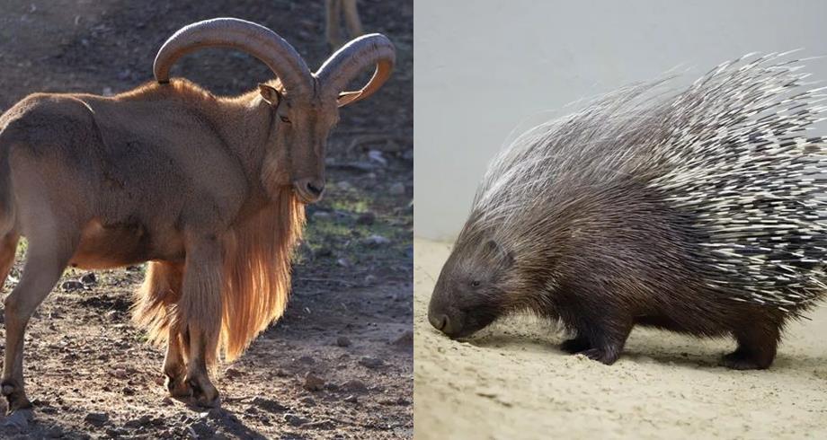 Réintroduction de deux espèces disparues dans le parc national d'Ifrane