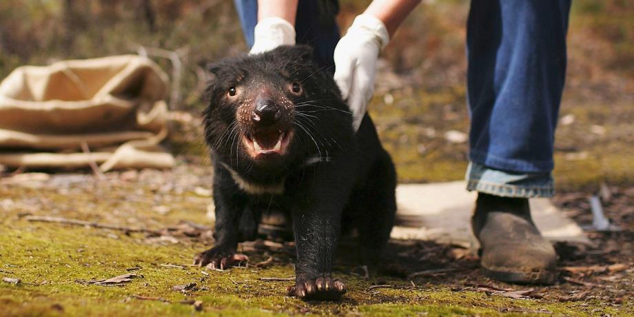 3000 ans après leur disparition, les diables de Tasmanie de retour en Australie