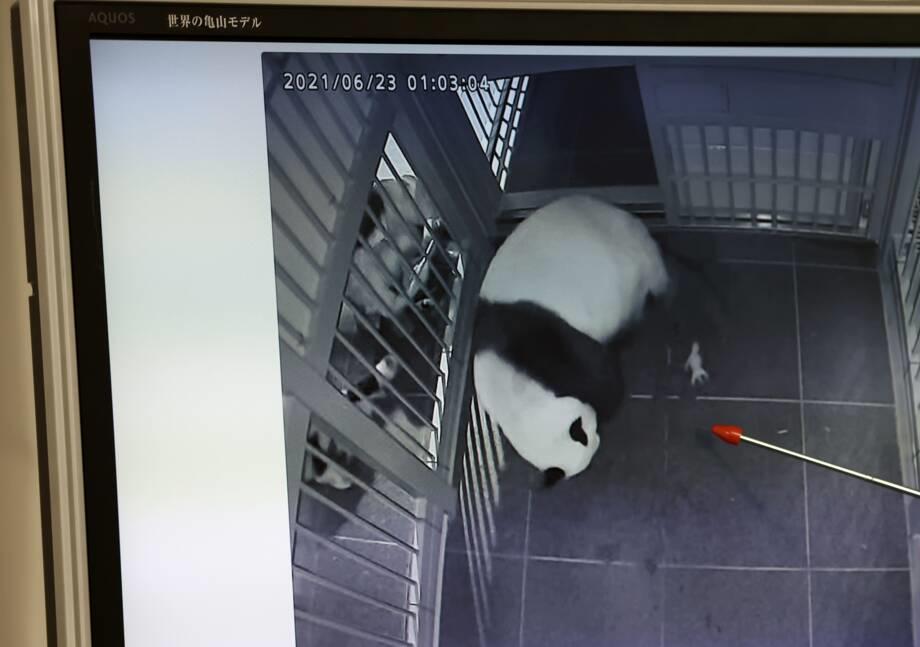Japon: naissance de jumeaux pandas dans un zoo de Tokyo
