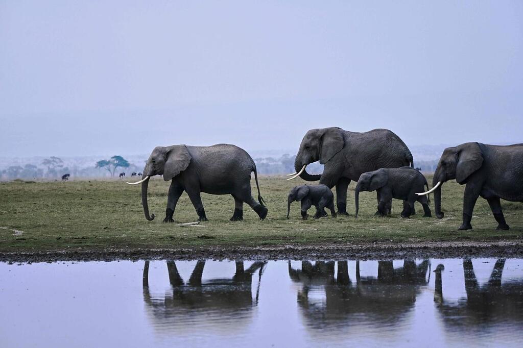 """تحضيرات لنقل قطيع أفيال من بريطانيا إلى كينيا في """"سابقة عالمية"""""""
