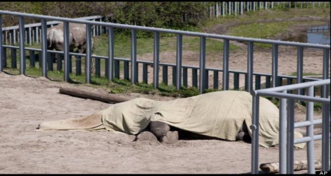 العثور على فيل مقطوع الرأس ومنزوع النابين في إندونيسيا