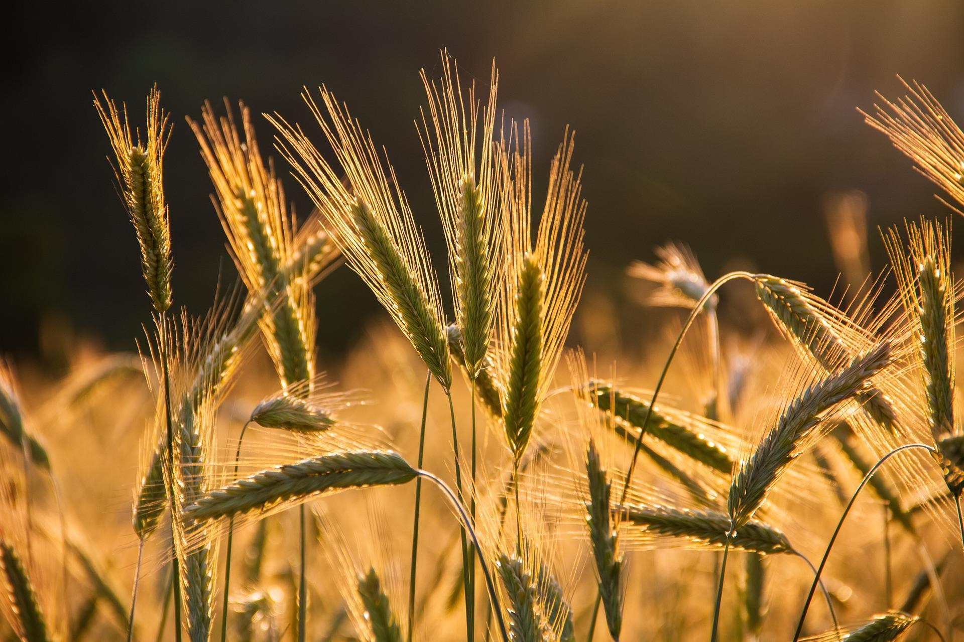 موسم الحبوب 2020-2021.. النقاط الرئيسية في بلاغ وزارة الفلاحة