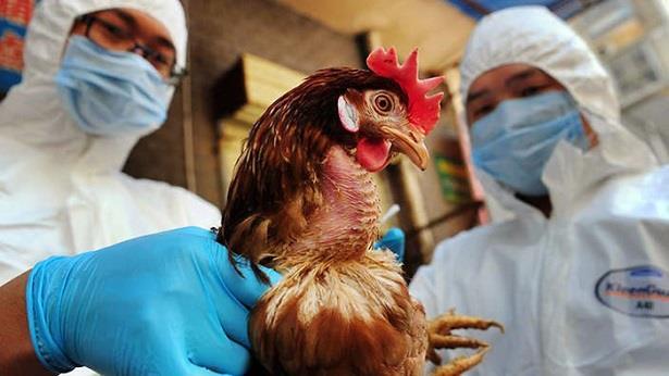 الإبلاغ عن تفشي إنفلونزا الطيور في مناطق جنوب نيجيريا