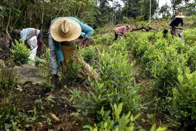 """""""اقتصاد الكوكا"""" يزدهر في كولومبيا"""