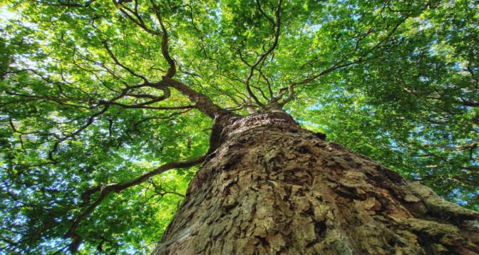 Etude: un tiers des espèces d'arbres menacé dans le monde