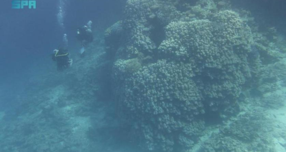 السعودية .. اكتشاف مستعمرة مرجانية بالبحر الأحمر تعود لـ600 عام