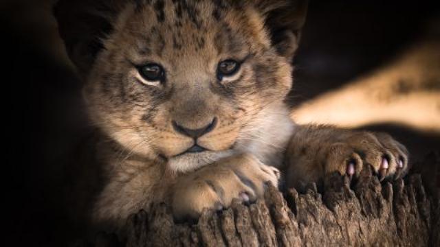 ولادة غير متوقعة لشبلين من أسود إفريقيا في حديقة حيوانات فرنسية