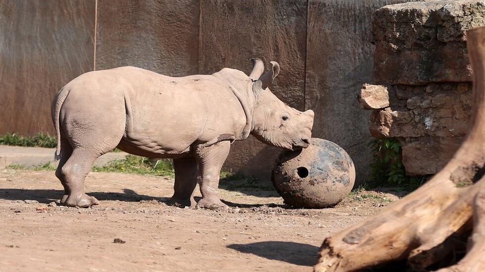 نفوق أنثى وحيد قرن إثر محاولة لتحفيزها على التناسل في حديقة هولندية