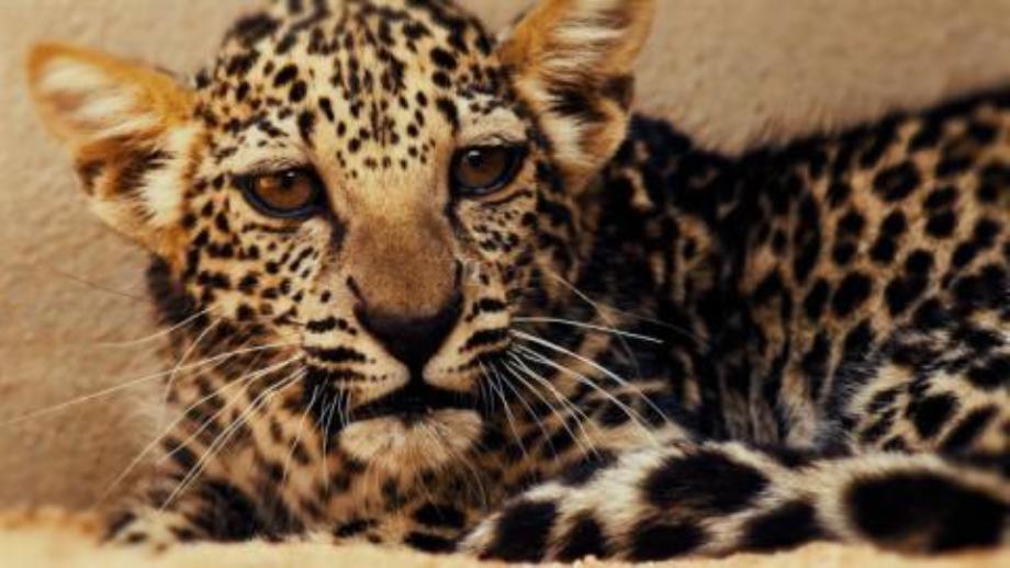 """السعودية: ولادة أنثى من """"النمر العربي"""" المهدد بالإنقراض"""
