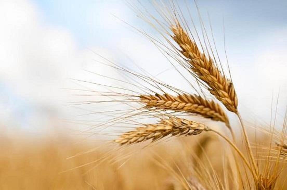ارتفاع قياسي في أسعار القمح بسبب الطلب العالمي