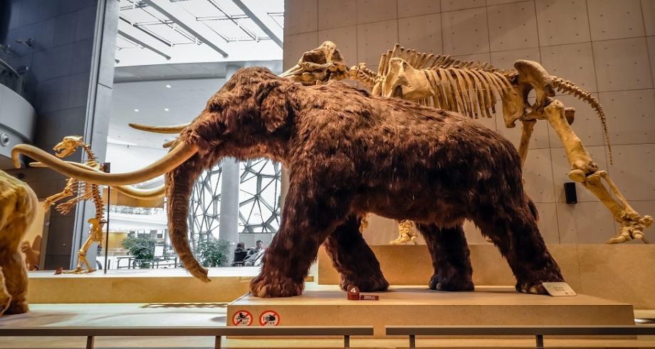 دراسة: تغير المناخ المفاجئ أدى لانقراض فيلة الماموث