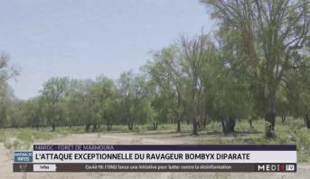 Forêt de Maâmoura: l'attaque exceptionnelle du ravageur Bombyx Diparate