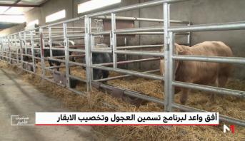 المغرب الأخضر .. أفق واعد لبرنامج تسمين العجول وتخصيب الأبقار
