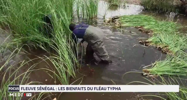 Fleuve Sénégal : les bienfaits du fléau Typha