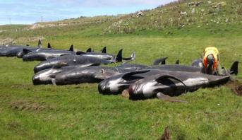 ظاهرة جنوح الحيتان في نيوزيلندا